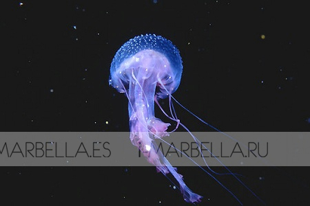 Small Jellyfish in Large Numbers in Marbella